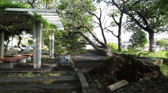 根っこから倒れた公園の木2