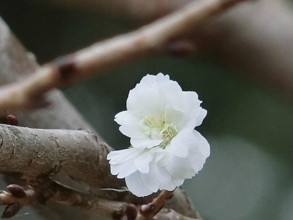 5-CIMG2474子福桜