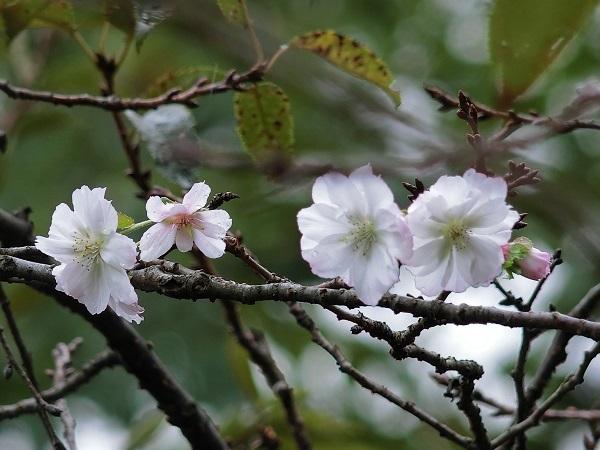 6-CIMG2479十月桜