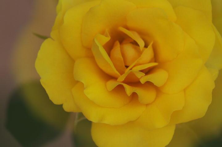 ミニ薔薇-728