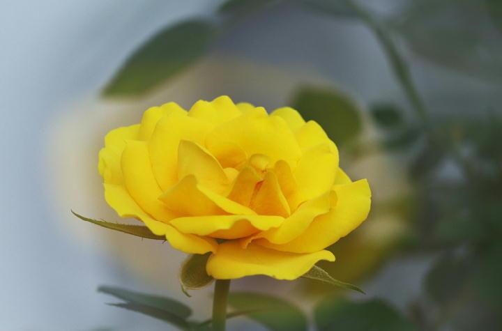 ミニ薔薇-733