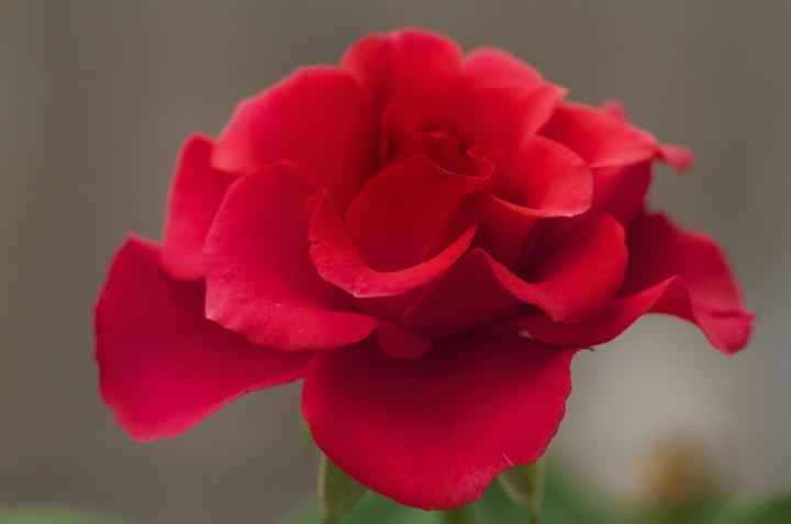ミニ薔薇赤-740