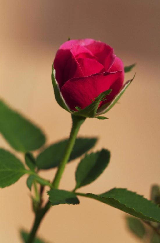 ミニ薔薇ピンク-727