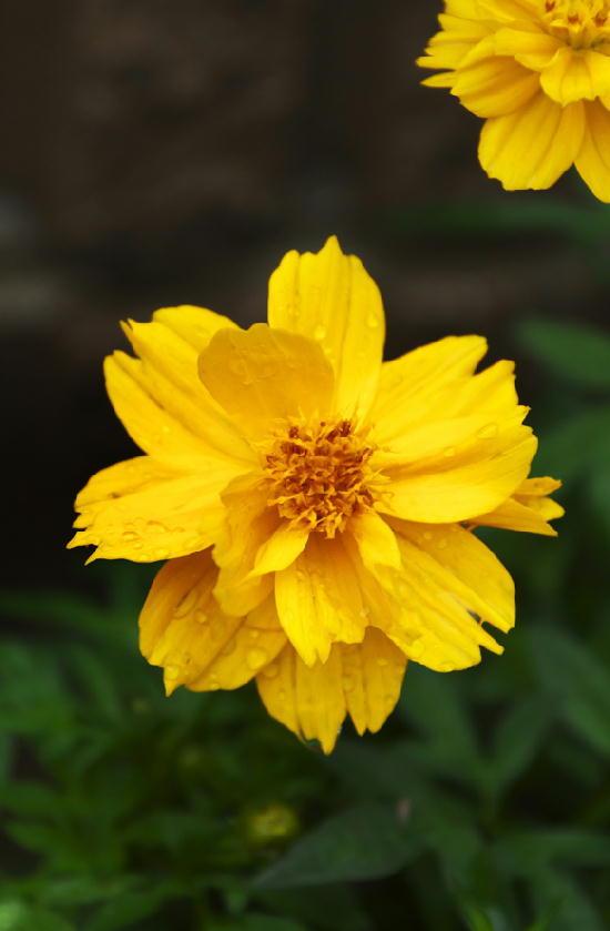 黄花コスモス-017