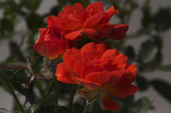 薔薇-284