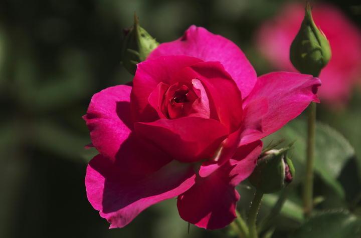 薔薇-294