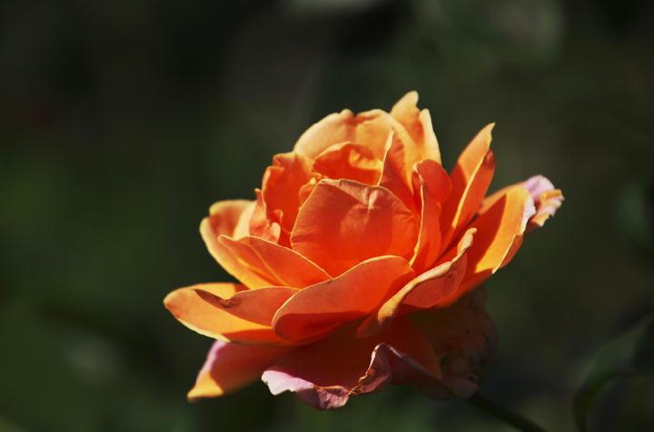 薔薇-298