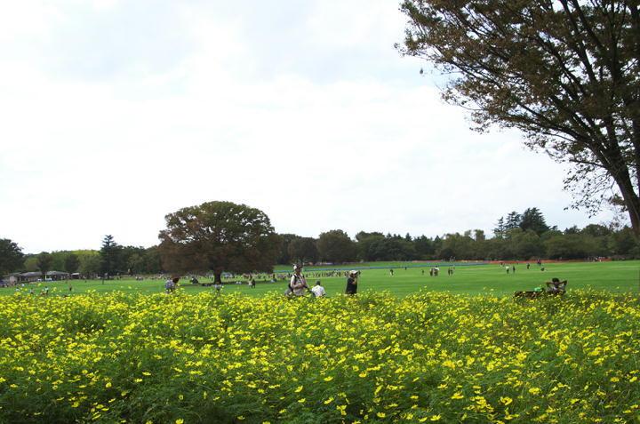 黄花コスモス-528
