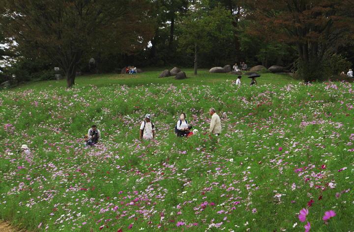 秋桜-509