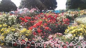 伊予三島運動公園のバラ1