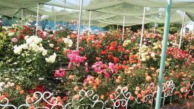 伊予三島運動公園のバラ2