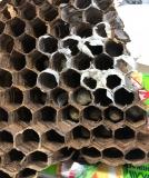 2018昆虫大学スズメバチの巣