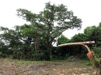180821-23=台風前伊藤幾造地ウラジロエノキと大砲伐採木 aONA