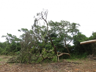 180824-106=台風後伊藤幾造地,倒れたウラジロエノキ aONA