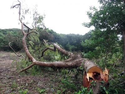 180824-108=台風後伊藤幾造地,倒れたウラジロエノキ aONA