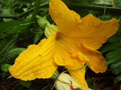 180829-12=バターナッツの18初雌花 a奥の奥畑