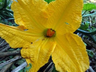 180903-11=バターナッツの雌花 a奥の奥畑