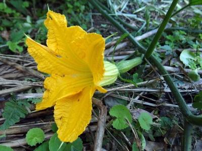 180903-12=バターナッツの雌花と実 a奥の奥畑