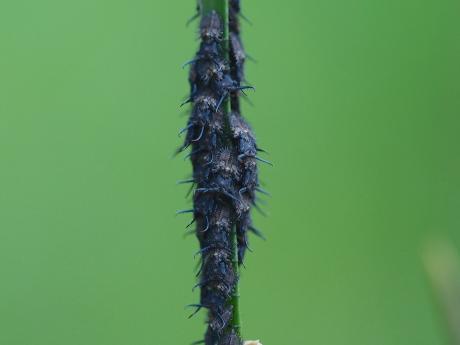 ツノトンボ幼虫2