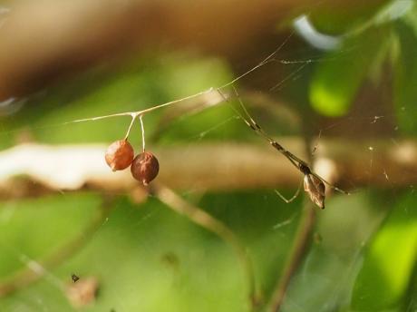 チリイソウロウグモ&卵嚢