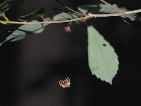 ムツトゲイセキグモ&卵嚢3