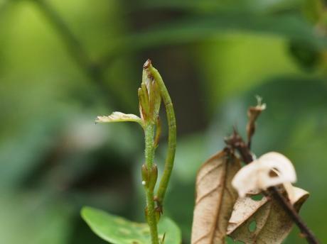 ヒメウスアオシャク幼虫