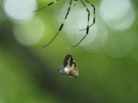 ハゴロモヤドリガ幼虫2