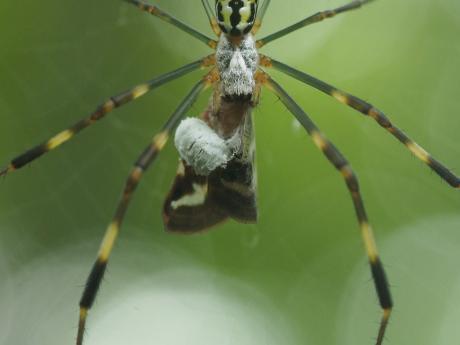 ハゴロモヤドリガ幼虫7