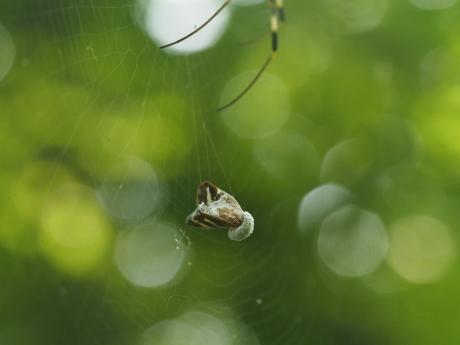 ハゴロモヤドリガ幼虫10