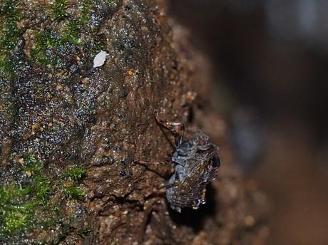 ハネナガウンカ幼虫3