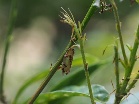 ムラサキシジミ幼虫3
