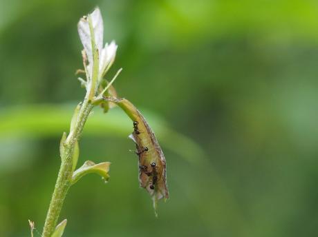 ムラサキシジミ幼虫4