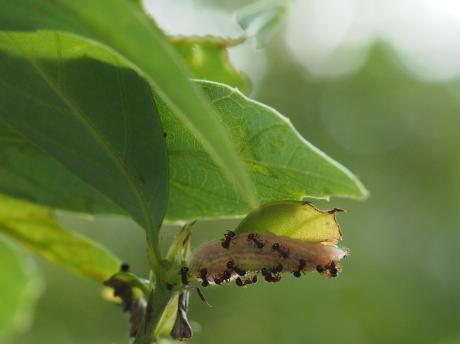 ムラサキシジミ幼虫5