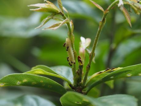 ムラサキシジミ幼虫6