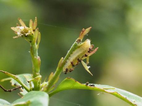 ムラサキシジミ幼虫7