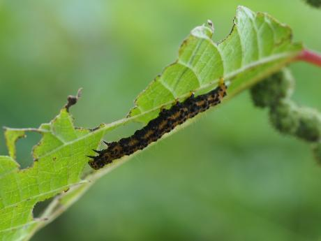 キシタアツバ幼虫