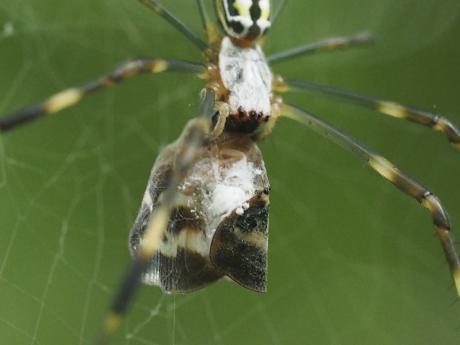 ハゴロモヤドリガ幼虫6