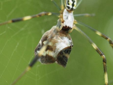 ハゴロモヤドリガ幼虫4