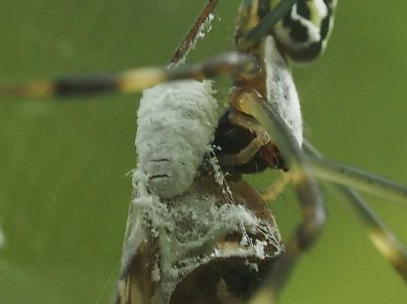 ハゴロモヤドリガ幼虫9
