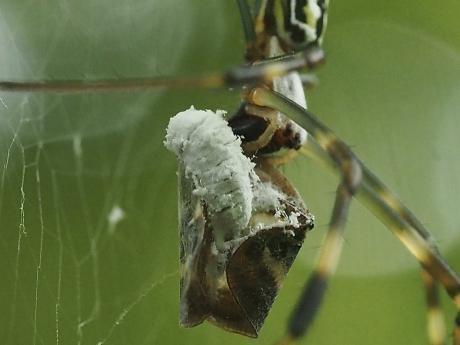 ハゴロモヤドリガ幼虫8