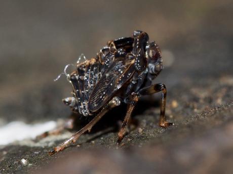 ハネナガウンカ幼虫4