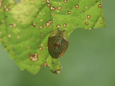 ヒロズイラガ幼虫2