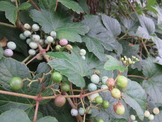 024野葡萄