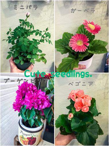 花鉢 サプライズ 秋 夏 ブーゲンビリア ミニバラ ガーベラ ベゴニア 苗 ガーデニング
