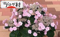C-ajisai2_201810070836001de.jpg