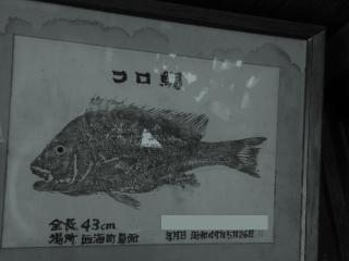 コロダイ魚拓