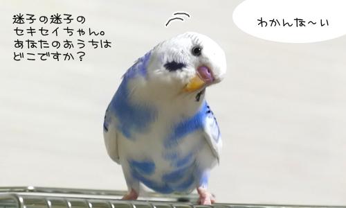 藁パーティ&迷子のセキセイちゃん_5