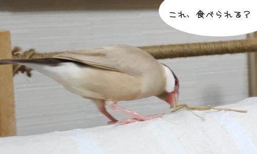 藁パーティ&迷子のセキセイちゃん_1