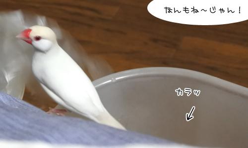 巣作りごっこ&迷子のセキセイちゃん_5