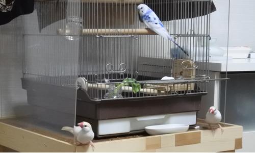 巣作りごっこ&迷子のセキセイちゃん_6